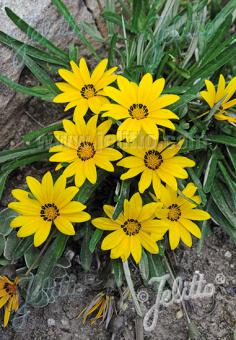 GAZANIA linearis  Colorado Gold® Portion(s)