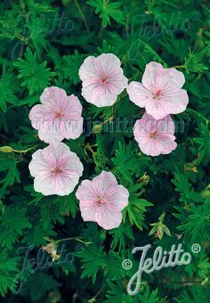 GERANIUM sanguineum var. striatum   Portion(en)