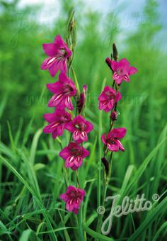 GLADIOLUS palustris   Portion(s)