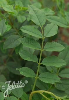 GLYCYRRHIZA uralensis   Portion(s)