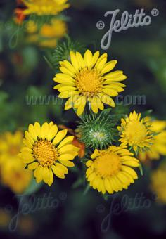 GRINDELIA robusta   Portion(s)