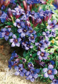 GENTIANA septemfida var. lagodechiana   Seeds