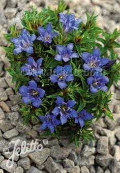 GENTIANA septemfida var. lagodechiana  'Bella Alpinella' Seeds
