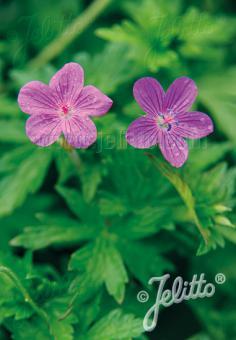 GERANIUM palustre   Seeds