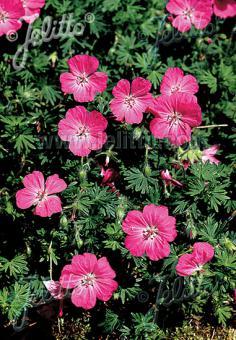 GERANIUM sanguineum   Seeds