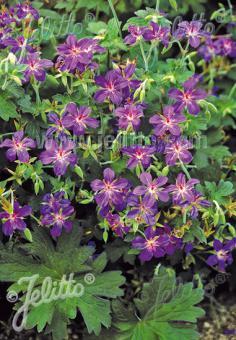 GERANIUM wlassovianum   Seeds