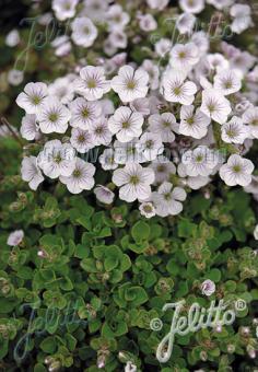 GYPSOPHILA cerastioides   Seeds