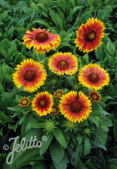 GAILLARDIA aristata  'Granada'(TM) Portion(s)
