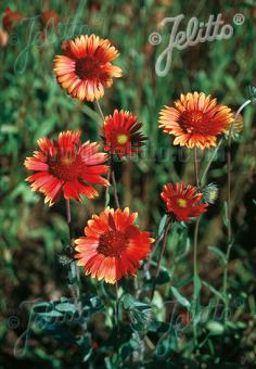 GAILLARDIA aristata  'Tokajer' Portion(s)