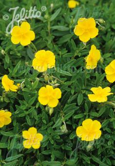HELIANTHEMUM nummularium   Portion(en)