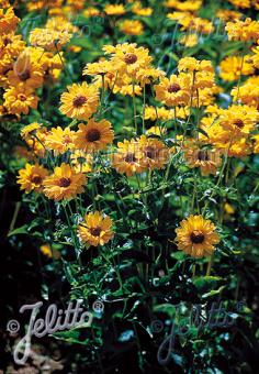 HELIOPSIS helianthoides var. scabra  'Sommersonne' Portion(s)