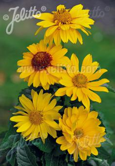 HELIOPSIS helianthoides var. scabra  'New Hybrids' Portion(s)