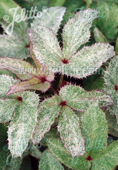HELLEBORUS argutifolius  'Pacific Frost' Portion(en)