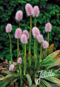 HELONIAS bullata   Portion(en)