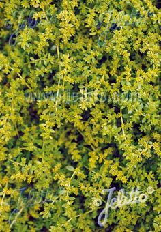 HERNIARIA glabra   Portion(en)