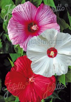 HIBISCUS Moscheutos-Hybr.  'Disco Belle Mixed' Portion(s)