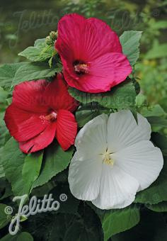 HIBISCUS Moscheutos-Hybr.  'Southern Belle Mixed' Portion(s)