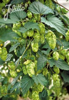 HUMULUS lupulus   Portion(s)