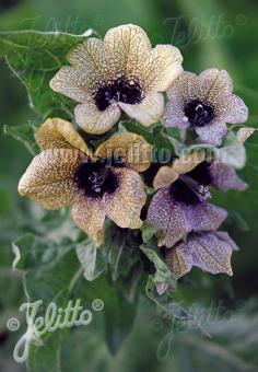 HYOSCYAMUS niger   Portion(en)