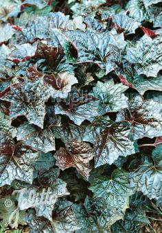 HEUCHERA americana  'Palace Purple Select' Seeds