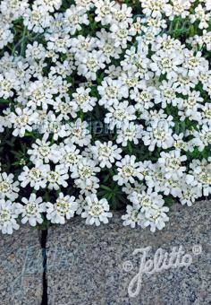 IBERIS sempervirens  'Snow Cushion' Portion(s)