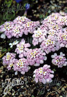 IBERIS spathulata   Portion(s)