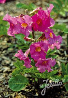 INCARVILLEA delavayi   Portion(s)