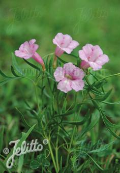INCARVILLEA olgae   Portion(s)