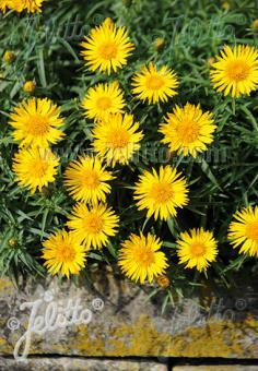 INULA ensifolia  'Compacta' Portion(s)