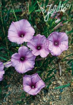 IPOMOEA leptophylla   Portion(s)