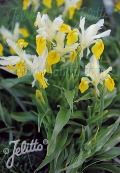 IRIS bucharica   Portion(s)