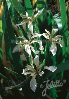 IRIS foetidissima var. citrina   Portion(s)