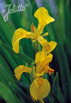 IRIS pseudacorus   Portion(s)