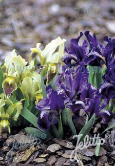 IRIS pumila  wild form Portion(s)