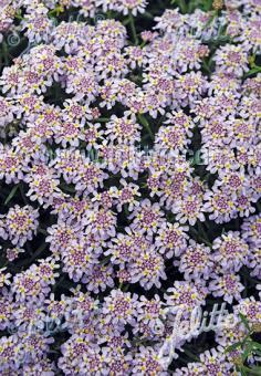 IBERIS aurosica  'Sweetheart' Seeds