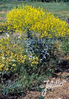 ISATIS tinctoria   Portion(en)