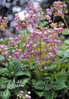 JOVELLANA punctata   Portion(s)