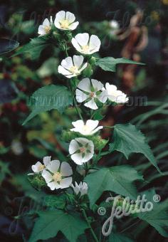 KITAIBELIA vitifolia   Portion(s)