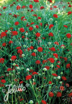 KNAUTIA macedonica  'Mars Midget' Portion(s)