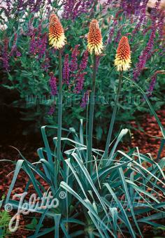 KNIPHOFIA caulescens   Portion(s)