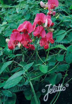 LATHYRUS rotundifolius   Portion(s)