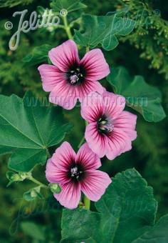 LAVATERA arborea   Portion(s)