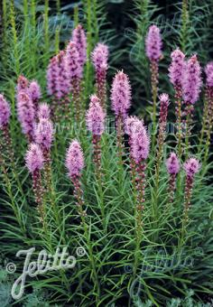LIATRIS spicata   Portion(s)