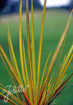 LIBERTIA ixioides   Portion(s)