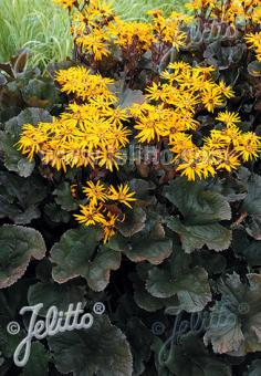 LIGULARIA dentata  'Midnight Lady' Portion(s)