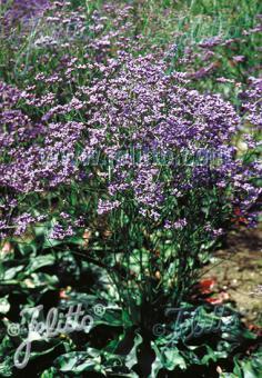LIMONIUM gmelinii ssp. hungaricum   Portion(s)