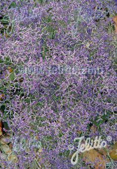 LIMONIUM latifolium   Portion(en)