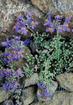 LINARIA alpina   Portion(s)