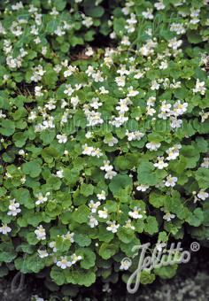 CYMBALARIA pallida  'Albiflora' Portion(en)