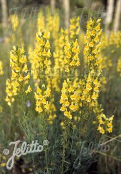 LINARIA vulgaris   Portion(en)